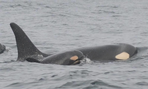 A third baby orca whale, christened L-94, has been spotted off the Washington coast.