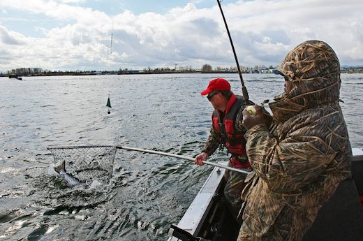 WDFW's Joe Hymer nets a spring chinook on the Columbia River near Vancouver. (Mark Harrison photo)