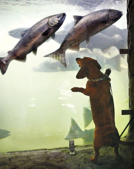 Chinook salmon run up through Columbia River dams, past viewing rooms, as a little dog looks on. (AP photo)