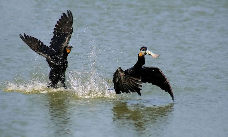 Double-crested cormorants, one with a fish in its bill. (Brocken Ina glory via Wikipedia)