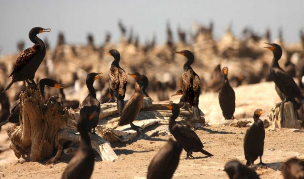 This Aug. 12, 2011 shows double crested cormorants on East Sand Island in the Columbia River near Ilwaco, Wash. (Photo: Steve Ringman, Seattle Times)