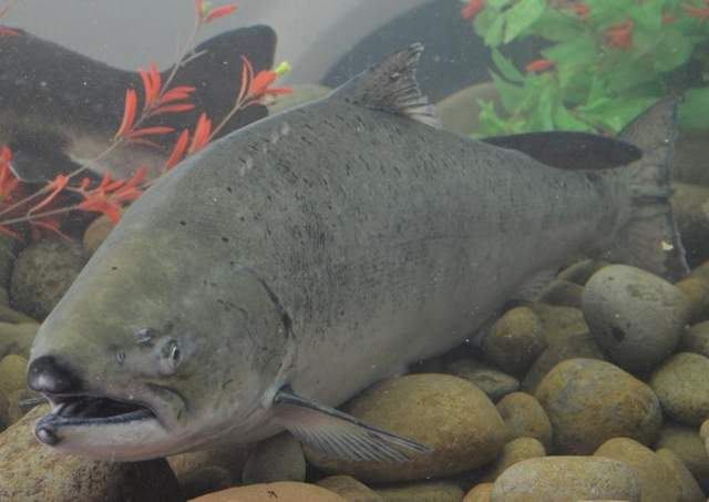 (Henry Miller photo) Almost a million upriver-bright fall-run Chinook salmon like this one are expected to cross Bonneville Dam this year. This salmon was one of several that made a guest appearance in an aquarium in the Natural Resources Area at the 2013 Oregon State Fair.