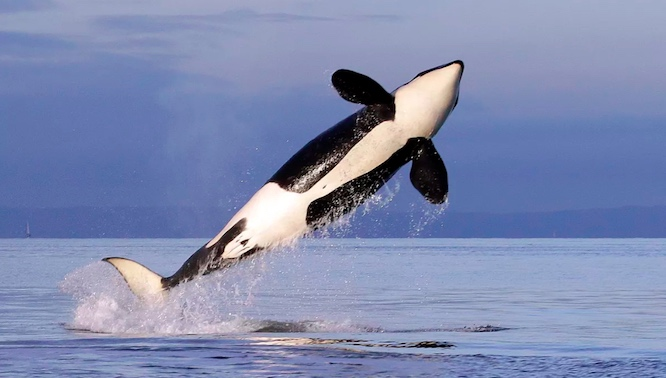 A female resident orca (Associated Press file photo)