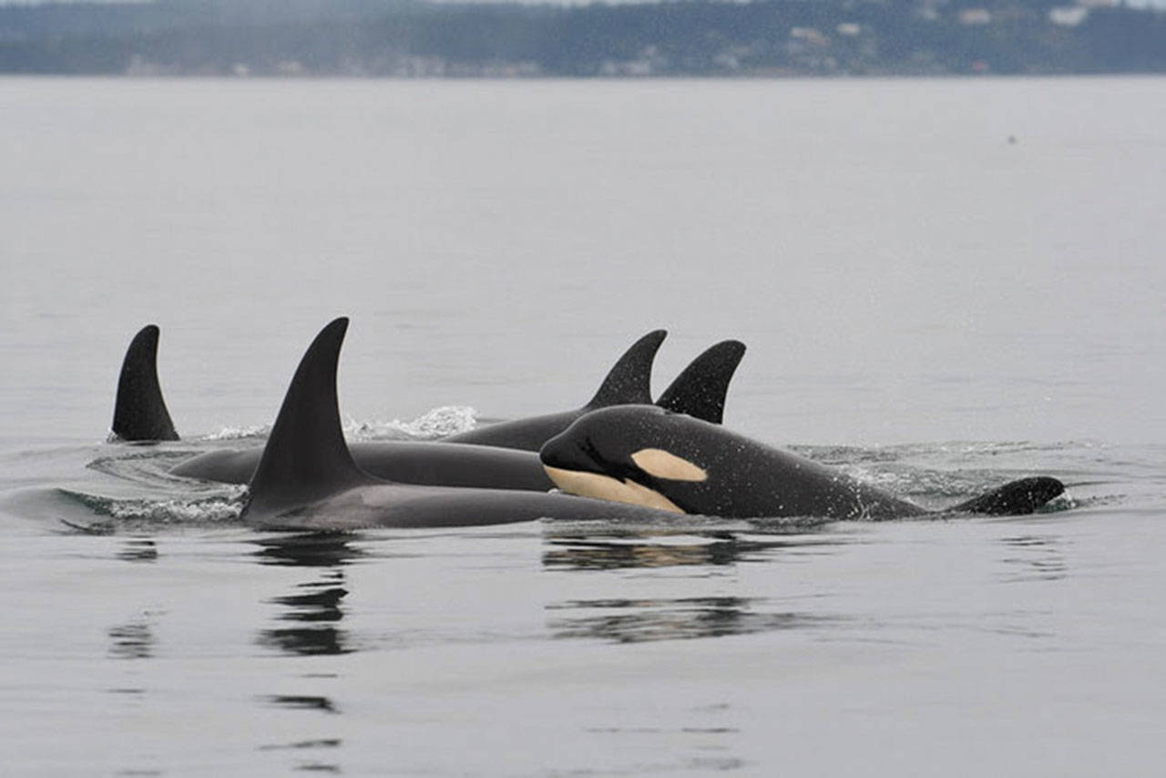 J-50, the young whale pictured, was a young southern resident orca that disappeared in early September and is presumed dead (Center for Whale Research Photo).