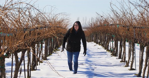 Katie Gordon Nelson walks along the grape vines at Kamiak Vineyards near Pasco, where grape vines for four decades have been irrigated by water drawn from a well that depends on a pool from a dam on the... (Mike Siegel / The Seattle Times)