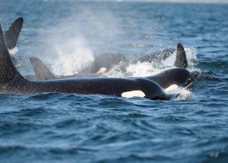 Killer whales off San Juan Island, Washington State. (Carl Safina photo)