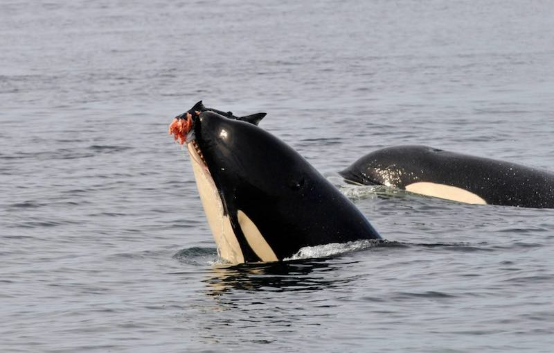 A Southern resident killer whale feeding on salmon. (Photo Astrid van Ginneken, Ph.D., for Center For Whale Research)