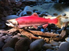 (Aaron Kunz) 20 years ago, Lonesome Larry was the only sockeye salmon to make the 800-mile trip from the Pacific Ocean to Redfish Lake, once a popular spawning area for salmon.