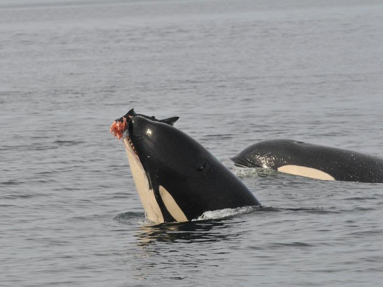 This orca, a member of J pod, was photographed eating what is likely a chinook salmon in Haro Strait in 2008. (Photo Astrid van Ginneken / Center for Whale Research)