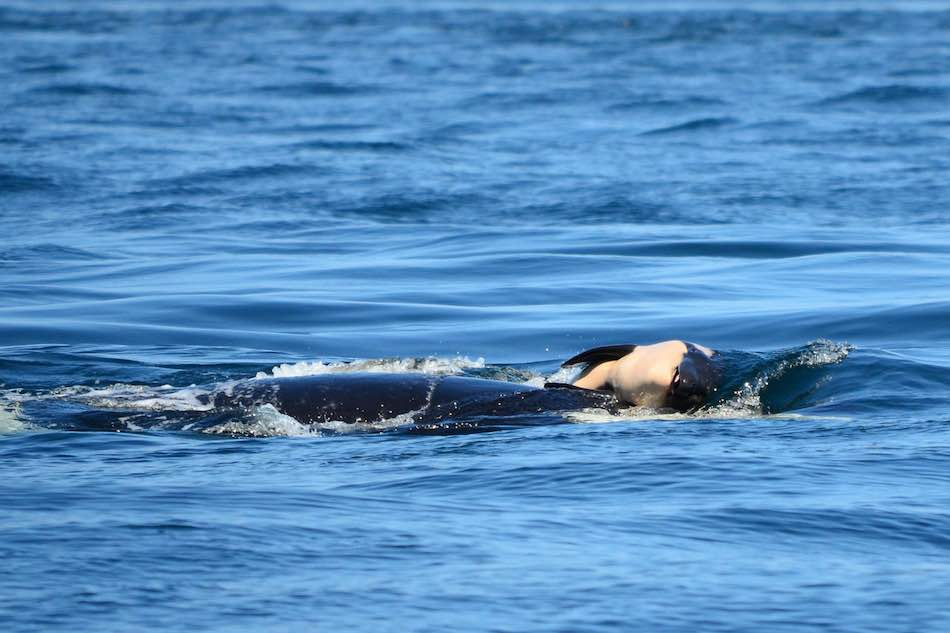 The orca named J35, or Tahlequah, carrying her dead calf on the seventh day. (Ken Balcomb/Center for Whale Research)