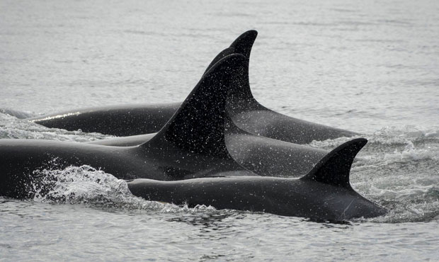 J50 near Lime Kiln Point, San Juan Island, and with other females in her family on Aug. 11, 2018. (Photos by Katy Foster/NOAA Fisheries)
