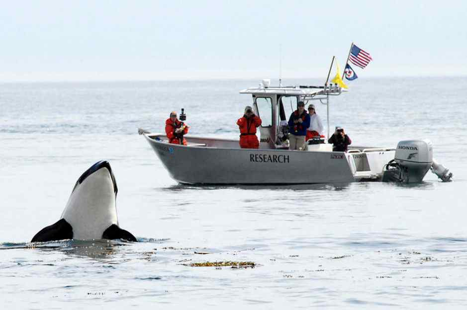 Researchers from the NOAA's Northwest Fisheries Science Center observe a spy-hopping Southern Resident orca off San Juan Island, Washington. (Photo: NOAA)