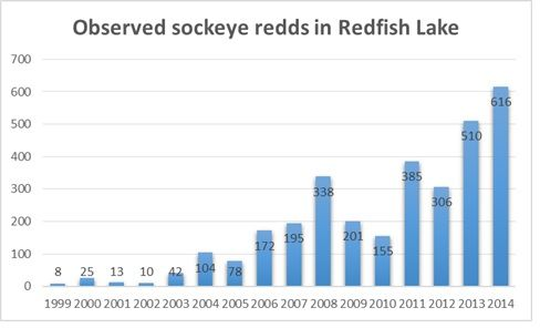 Chart illustrates the increase in sockeye salmon redds in Redfish Lake, Idaho. Salmon from the naturally spawned redds are returning at a high enough rate to rebuild the population of the endangered species. (Idaho Department of Fish & Game photo)