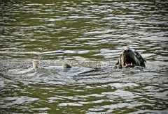 A predatory California sea lion grabs a fish just below Willamette Falls in Oregon. (Photo Courtesy: Oregon Department of Fish and Wildlife)