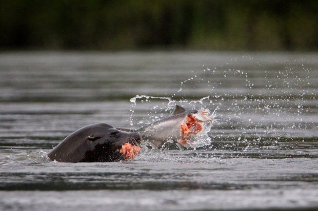 A sea lion eats a salmon on the Columbia River near the Bonneville Dam  (Thomas Boyd/The Oregonian)