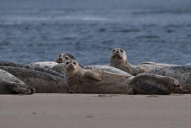 A growing number of harbor seals, much like these found along the Oregon Coast, have been driven by starvation in California to the healthy smelt and salmon runs in the Columbia River. (Roy W. Lowe /Creative Commons)