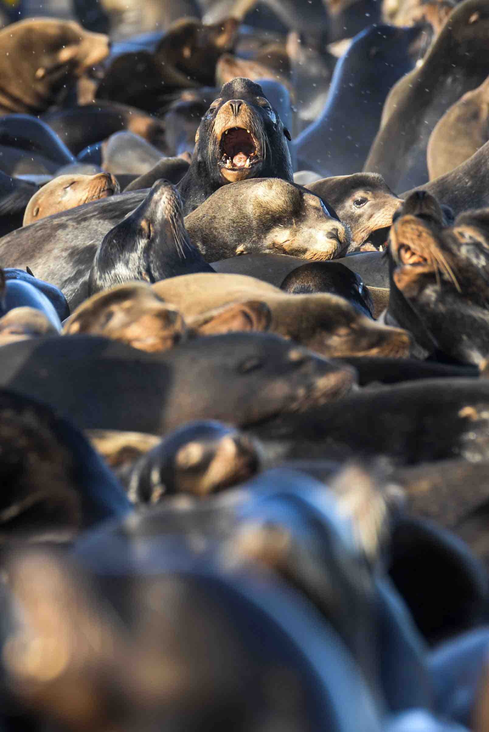 Sea lions and harbor seals congregate in large numbers in the Columbia River estuary, waiting for returning salmon. (Joshua Bessexieo photo)