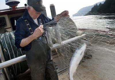 In a June 30, 2008 file photo (Gordon King/Yakima Herald-Republic), commercial fisherman Les Clark pulls a sockeye or blueback salmon from his net while fishing on the Columbia River near Skamania, Wash.