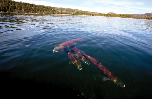 (Times-News photo) Sockeye Adults within their natal spawning grounds of Redfish Lake, Idaho.