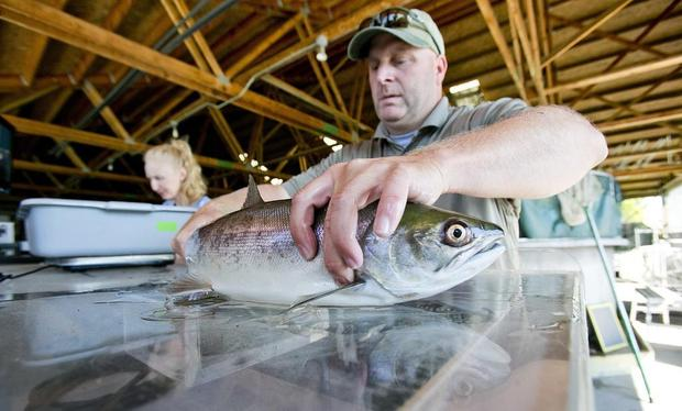 Travis Brown, assistant manager at the Eagle Fish Hatchery, checks a sockeye salmon for a Passive Integrated Transponders tag at the hatchery on Wednesday. Idaho Fish and Game processed five sockeye that it trucked from Lower Granite Dam 20 miles downstream of Lewiston. (Photo: Kyle Green)