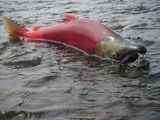 Spawning male Sockeye salmon (courtesy of the U.S. EPA)