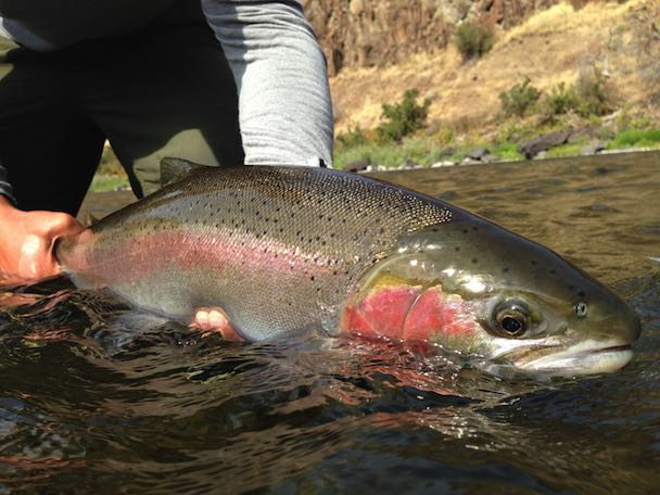 Steelhead in the Grande Ronde, Snake and Clearwater rivers are prized by fly fishers. (Michael Visintainer / Silver Bow Fly Shop)