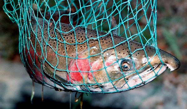 An adult steelhead sees its impending fate in a fisherman's net.