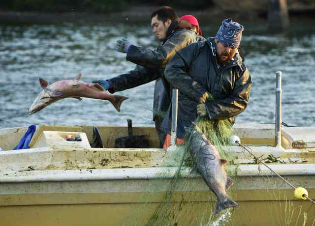 Tribal gillnet fisherman Eric Lilly and Aaron Paul, right, pull in chinook on the Columbia River, (Thomas Boyd/The Oregonian 9/6/12)
