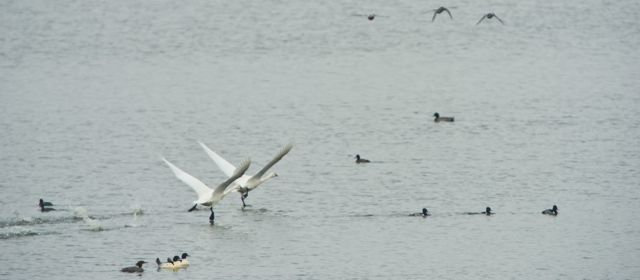 Two tundra swans splash along the surface of a McNary pond during their long takeoff process.