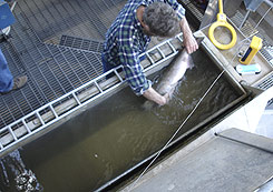 (BPA photo) A fish biologist from the National Oceanic and Atmospheric Administration examines an anesthetized adult spring chinook in a recovery tank at Lower Granite Dam, Wash.