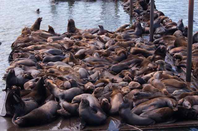 The sea lion count in Astoria's East Mooring Basin this spring was a record 2,340, shattering last year's record 1,420. (Theresa Tillson/Oregon Department of Fish and Wildlife)