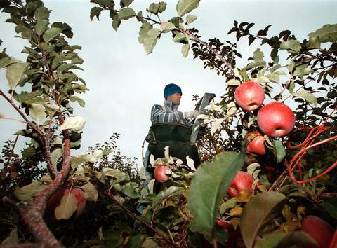 Fuji apples are harvested at Broetje Orchards by an army of workers. The trees get water pumped from the Snake River reservoir above Ice Harbor Dam in eastern Washington. Darin Oswald Statesman file