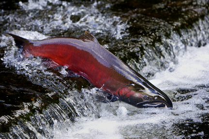 (Thomas Boyd) Redden has twice before rejected federal blueprints for Columbia Basin salmon
