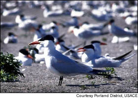 A caspian tern colony, believed to be the largest in the world, is making regular meals of migrating juvenile salmon and steelhead as they make along the Columbia River to the Pacific Ocean.