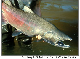 Chinook Salmon (US Fish & Wildlife Service)