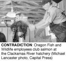 Contradiction: Oregon Fish and Wildlife employees club salmon at the Clackamas River Hatchery (Michael Lancaster, Capital Press)