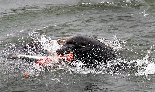 A large male sea lion feasts on a spring chinook it captured near the base of Bonneville Dam last month. Biologists and Indian tribes worry about the effect on salmon runs.