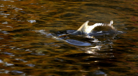 The dorsal fin of a salmon breaks the surface of the Columbia River.