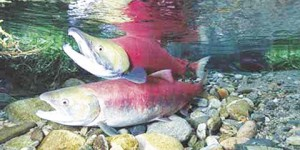 There was no funding for the Pacific Coastal Salmon Recovery Fund for the fiscal year 2010.