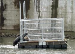 (JANET L. MATHEWS) A sea lion enters a trap before the gate is shut. Washington and Oregon fish and wildlife officials, and crane operators with the U.S. Army Corps of Engineers were among the 20 to 25 people trapping California sea lions at Bonneville Dam on Thursday.