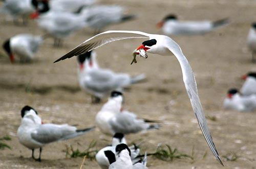 (STEVE RINGMAN / THE SEATTLE TIMES) With a baby salmon in its mouth, a Caspian tern flies over the colony on the east end of East Sand Island near the mouth of the Columbia River.