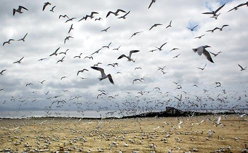 (STEVE RINGMAN / THE SEATTLE TIMES) Caspian terns fill the skies on East Sand Island, a home to which they were lured by federal agencies. Now the government says it's moving time again.