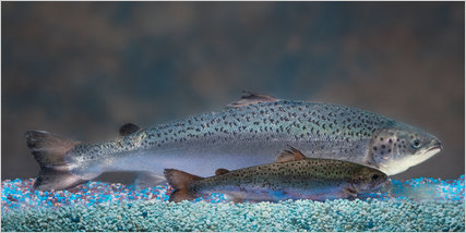 (AquaBounty Technologies) The 'AquAdvantage Salmon,' in the background, with a non-transgenic Atlantic salmon of the same age.