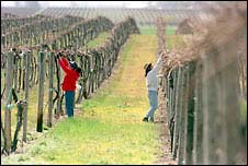 (Phil H. Webber) Rosario Torres and Leticia Cornejo tie grape vines on Dick Boushey's farm in Grandview. Lost water could mean losing the vines in a drought, farmers fear.