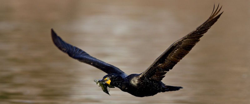 A Double-Crested Cormorant in flight with nesting material in Denver, Colorado, appears in this undated photo.