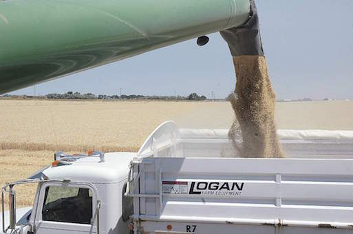 A grain truck is loaded with wheat early in the harvest near American Falls, Idaho, on July 27, 2016.  The head of the Idaho Wheat Commission believes this year's average yield is a record but low falling number and prices have impacted the overall return to farmers.