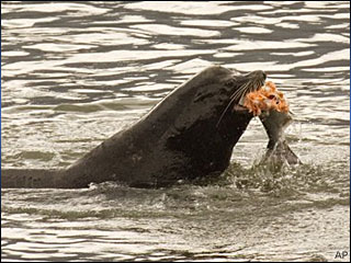 In this April 24, 2008 file photo, a sea lion eats a salmon in the Columbia River near Bonneville Dam in North Bonneville, Wash. (AP Photo/Don Ryan, File)