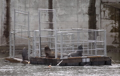 (Benjamin Brink) Sea lions linger on cage platforms set up by Washington and Oregon state officials at Bonneville Dam in late April.