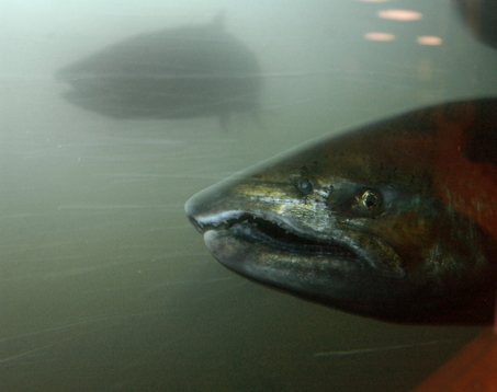 (AP photo) Adult chinook salmon swim past Bonneville Dam. New tracking of young salmon downstream surprised scientists.