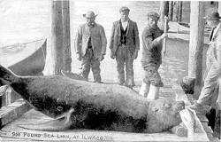 (CHINOOK OBSERVER COLLECTION) The war between fishermen and marine mammals is an old one: A 1915 postcard shows a dead 900-pound sea lion posed with a salmon on the waterfront in Ilwaco.